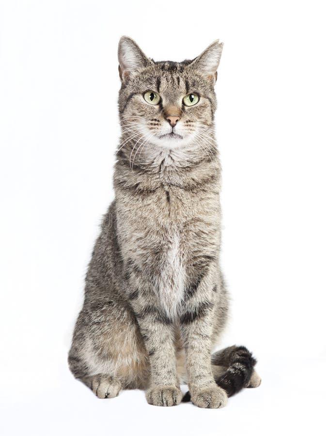 Chat tigré regardant l'appareil-photo image stock