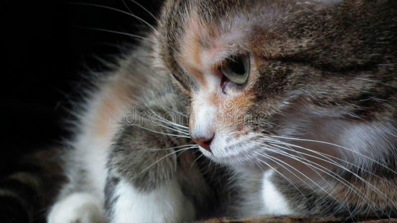 Chat tigré rouge pelucheux mou image libre de droits