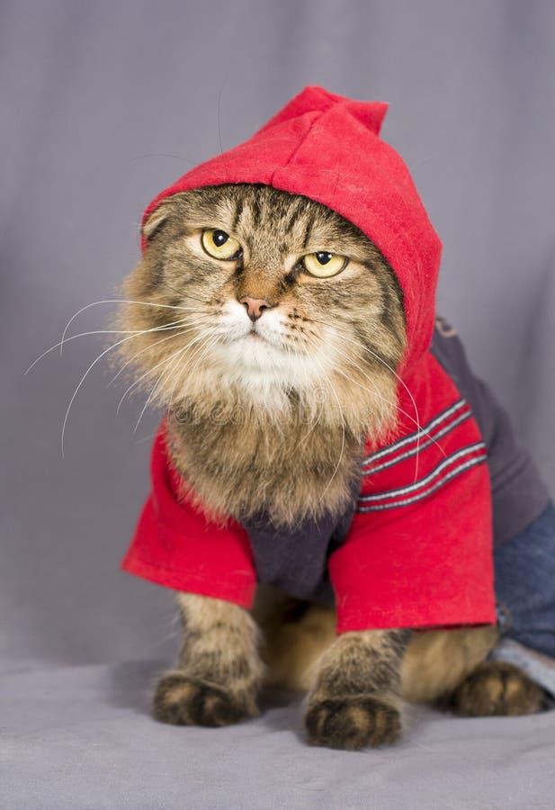 Chat tigré sombre dans un pull molletonné avec un capot et des jeans image stock