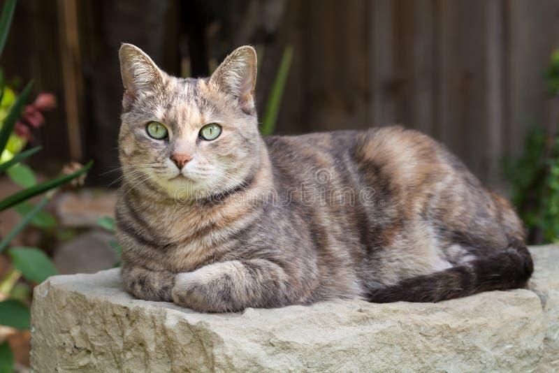 chat Tortoishell-tigré se reposant sur le banc de jardin avec des pattes pliées photo libre de droits