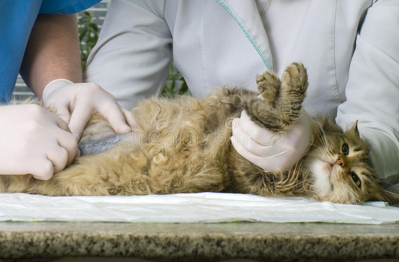 Chat traité par des vétérinaires photo libre de droits