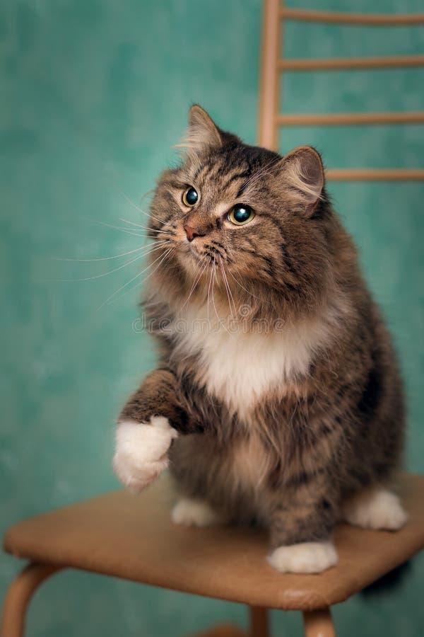 Chat velu espiègle disposant à attraper un jouet photo stock
