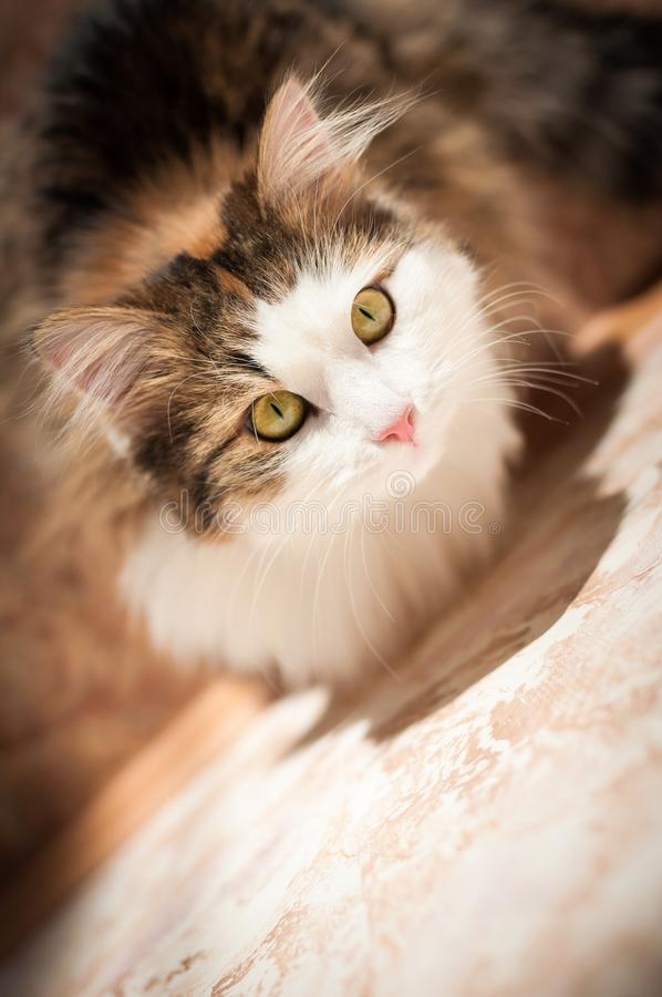 Chat velu et rouge se reposant à la lumière du soleil lumineuse photo stock