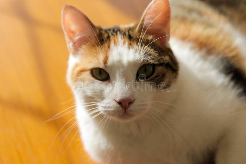 Chat, yellowe et blanc doux photographie stock