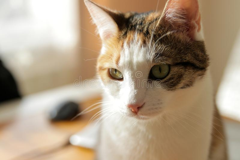 Chat, yellowe et blanc doux images stock