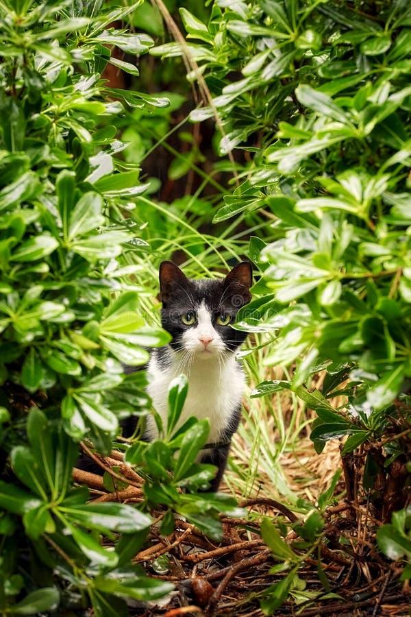 Chateau noir et blanc avec les yeux verts et un regard curieux et prudent images libres de droits