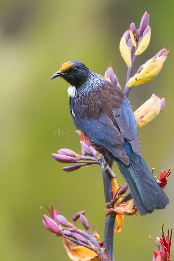 Chatham Tui, Prosthemadera novaeseelandiaechathamensis royaltyfri foto