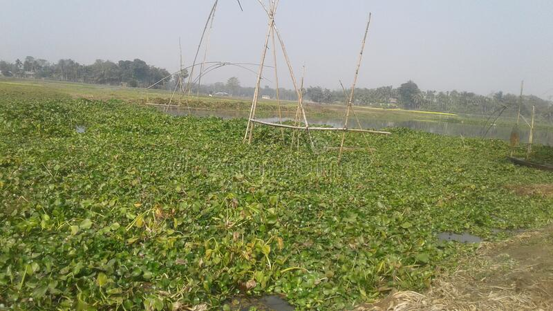 Chatian Toli village. Morigaon, Assam. India,. Assam tea Garden, very nice tea, vest quality tea, in tezpur stock image
