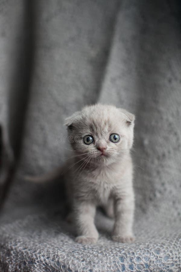 chaton écossais de pli sur le fond gris Chat àux oreilles pendantes image stock