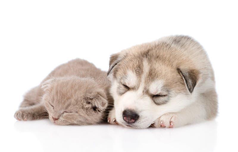 Chaton écossais et chiot de chien de traîneau sibérien dormant ensemble D'isolement photographie stock