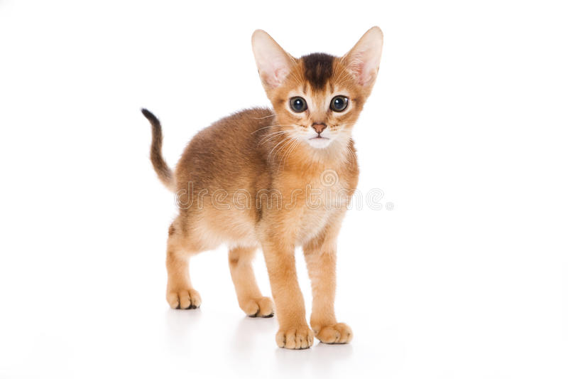 Chaton abyssinien photographie stock