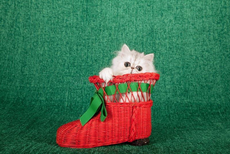 Chaton argenté de chinchilla se reposant à l'intérieur de la chaussure rouge de botte de Santa Christmas sur le fond vert photo stock