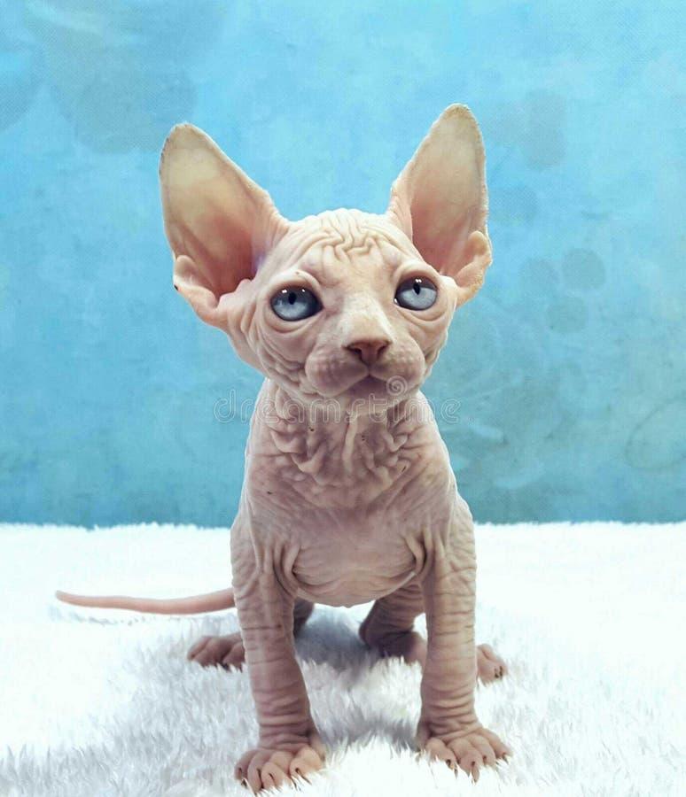 Chaton aux yeux bleus du sphinx photo libre de droits