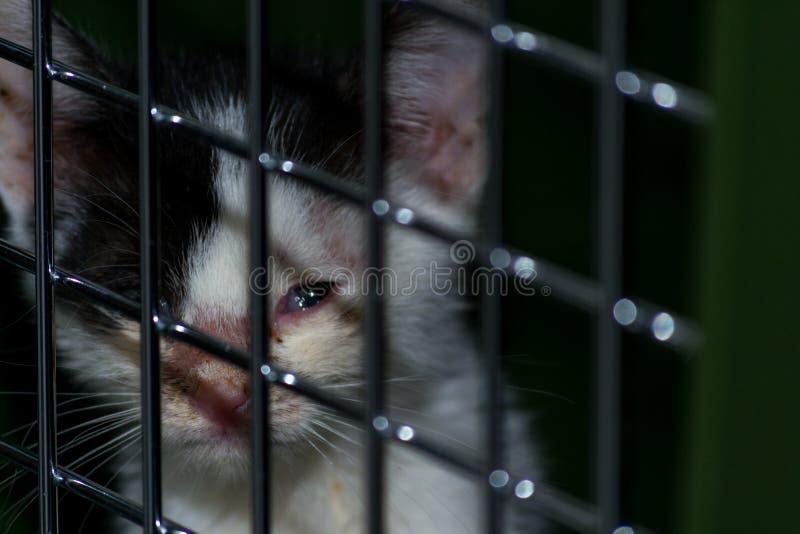 chaton avec la conjonctivite photos libres de droits