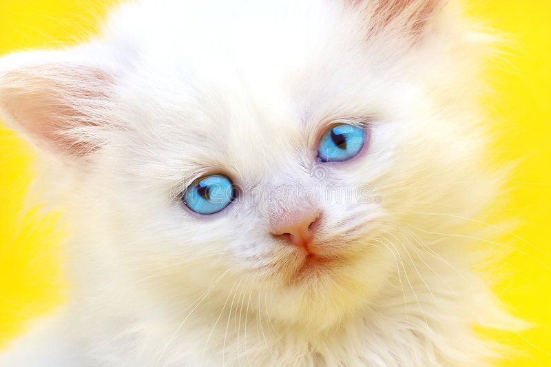 Chaton blanc avec des œil bleu. image stock
