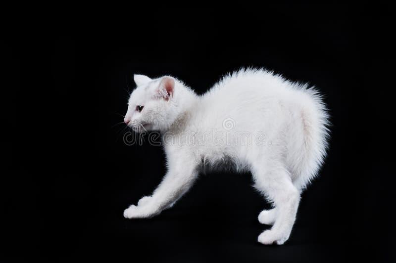 Chaton blanc avec le dos arqué image libre de droits