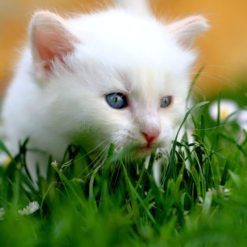 Chaton blanc dans l'herbe images stock