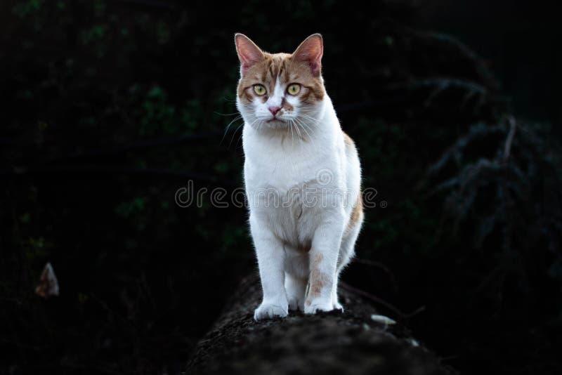 Chaton blanc et rouge courageux dans la forêt photos stock