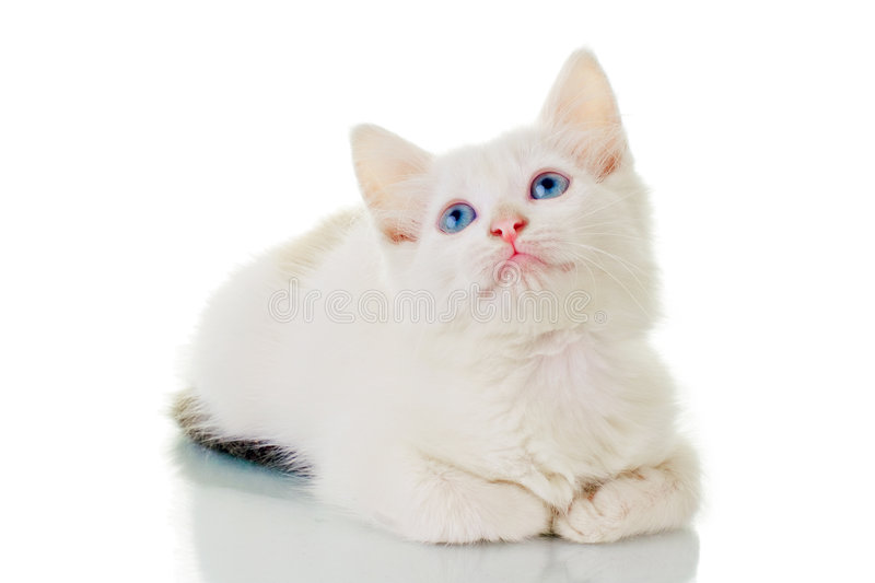 Chaton blanc mignon photo stock