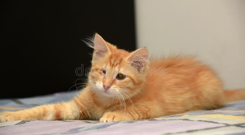 chaton borgne photo stock