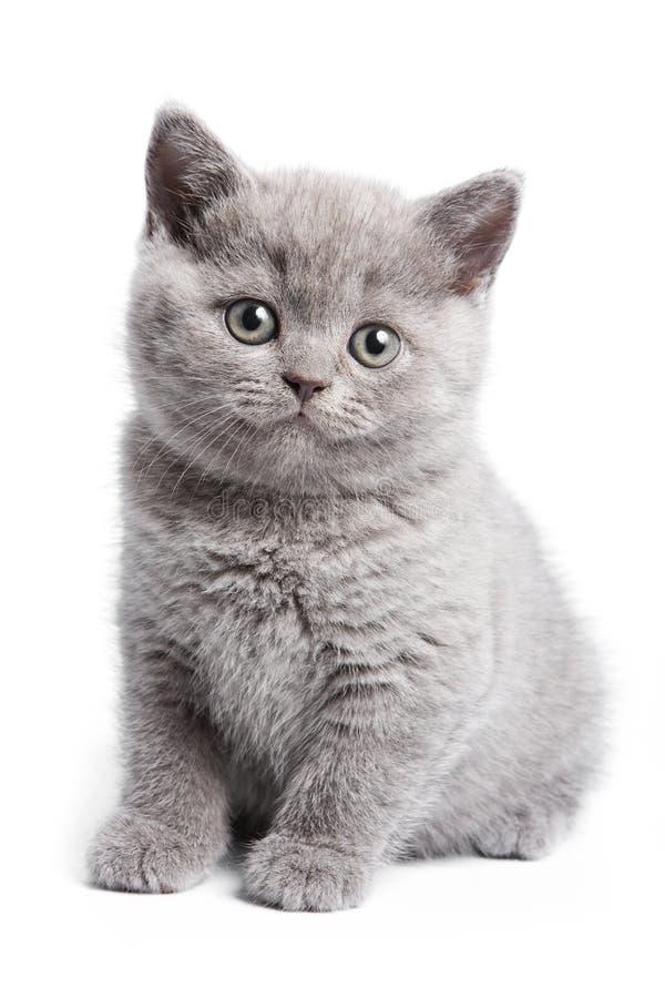 chaton britannique photo stock