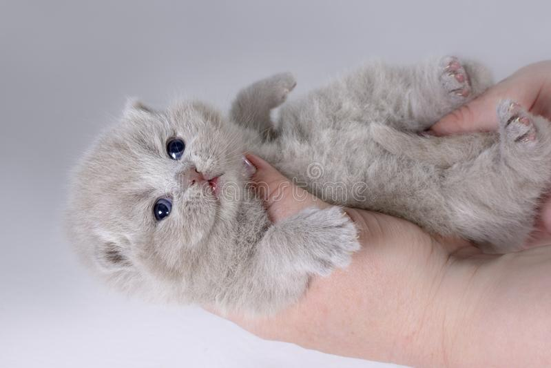 Chaton britannique adorable se trouvant sur les mains des femmes Âge deux semaines image libre de droits