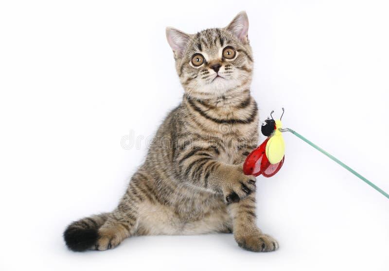 Chaton britannique avec un jouet rouge