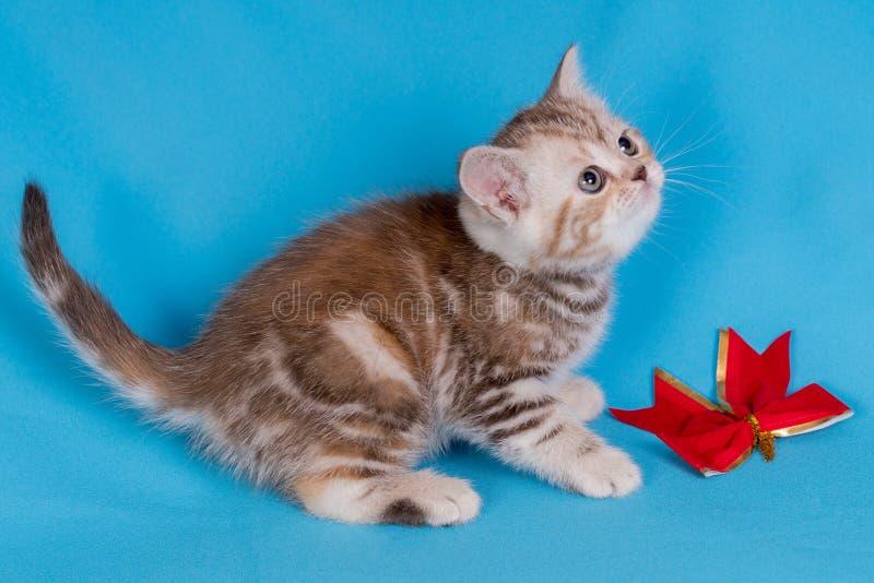 Chaton britannique de bébé mignon avec la queue tronquée sautant et jouant sur le fond bleu image libre de droits