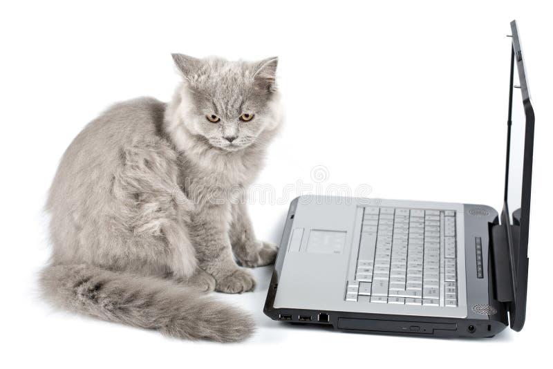 Chaton britannique devant l'ordinateur portatif d'isolement photographie stock libre de droits