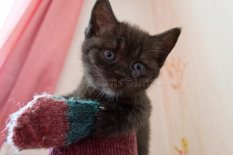 Chaton britannique noir drôle avec des yeux bleus se reposant sur la maison de chat images stock