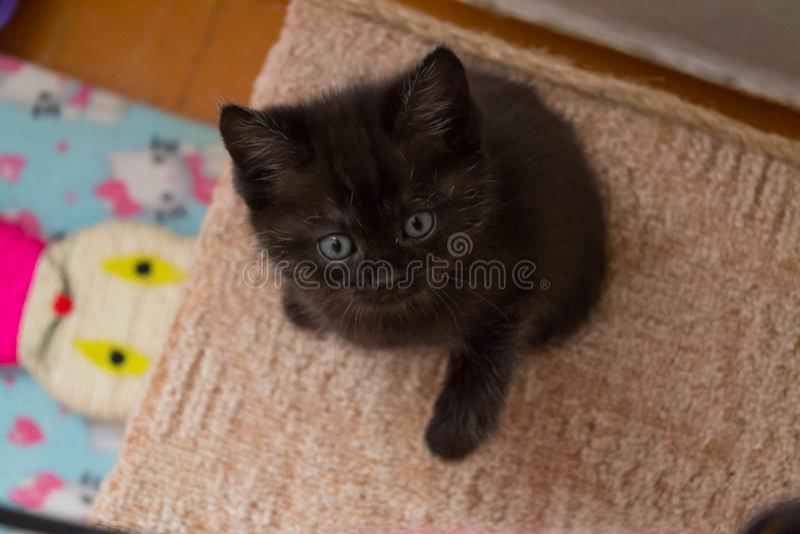Chaton britannique noir drôle avec des yeux bleus se reposant sur la maison de chat et recherchant photographie stock