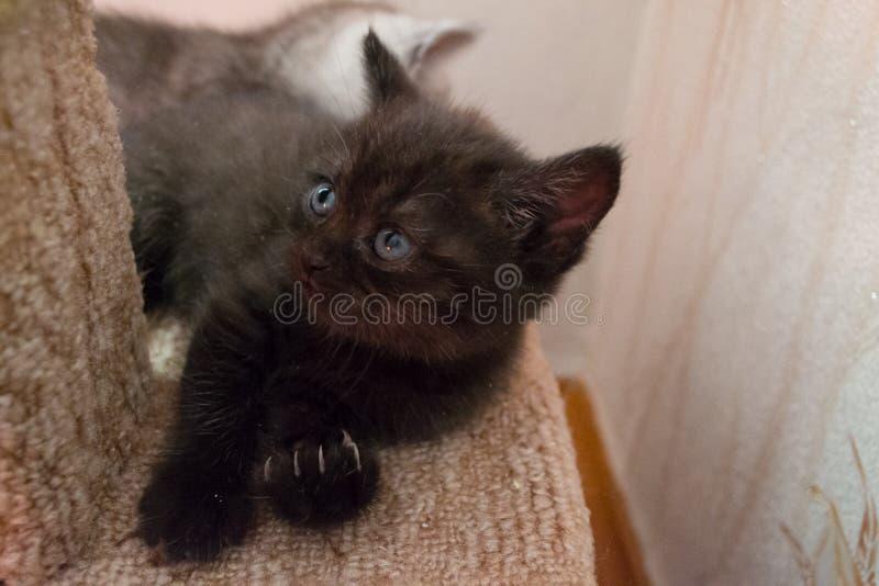 Chaton britannique noir drôle se trouvant sur la maison de chat et recherchant images stock