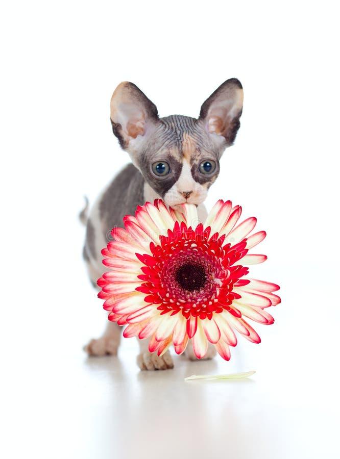 Chaton canadien de sphynx avec la fleur dans sa bouche photos stock