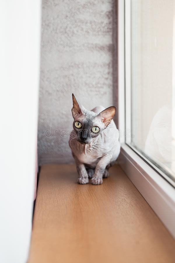 Chaton chauve canadien de Sphynx se reposant près d'une grande fenêtre lumineuse photo libre de droits