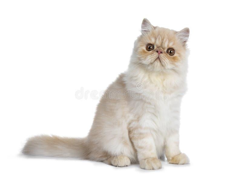 Chaton crème doux de chat de Persan de fumée, d'isolement sur le blanc photographie stock