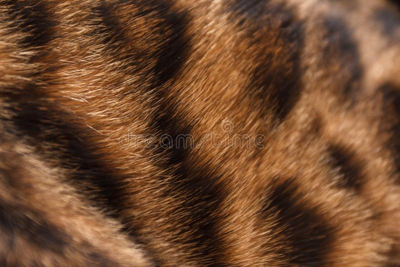 Chaton d'un chat du Bengale images stock