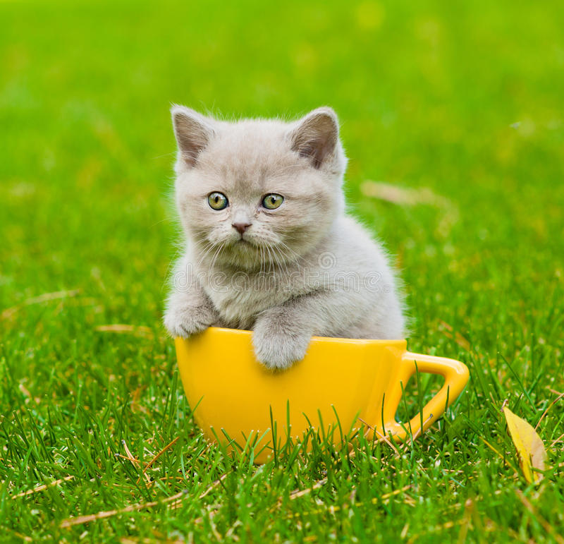 Chaton dans la grande tasse sur l'herbe verte image libre de droits
