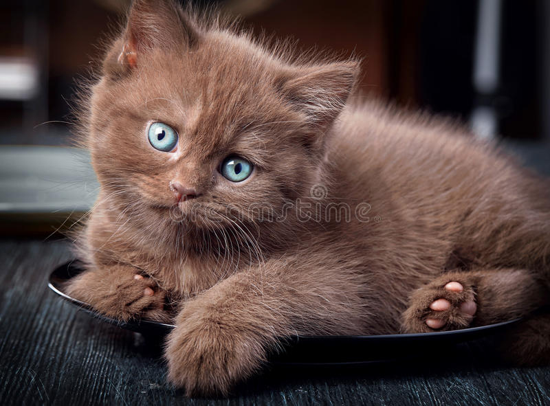 Chaton de Brown de plat noir photos stock