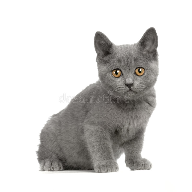 Chaton de Chartreux photo libre de droits