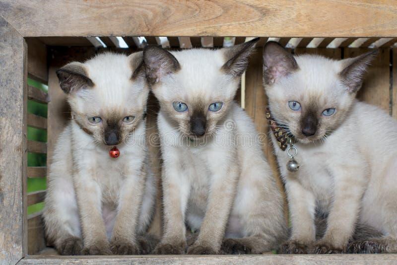 Chaton de chat siamois dans la boîte en bois photos stock