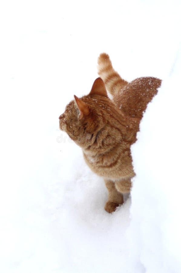 Chaton de gingembre caché dans la neige image stock