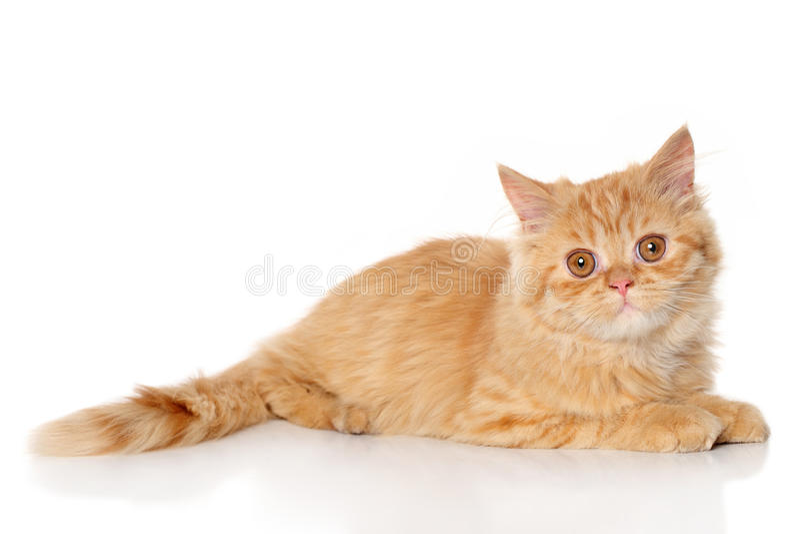 Chaton de Ginger Persian photo stock