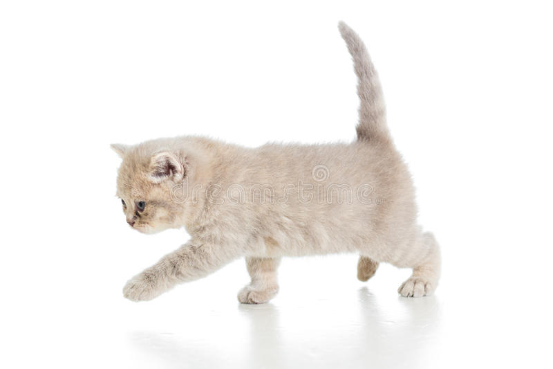 Chaton de marche drôle photo stock. Image du fond, kitty ...