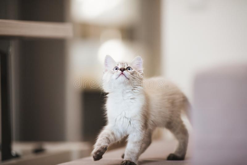Chaton de Neva Masquerade de Sibérien avec de beaux yeux bleus jouant à l'intérieur Portrait de plan rapproché de chaton mignon a image libre de droits