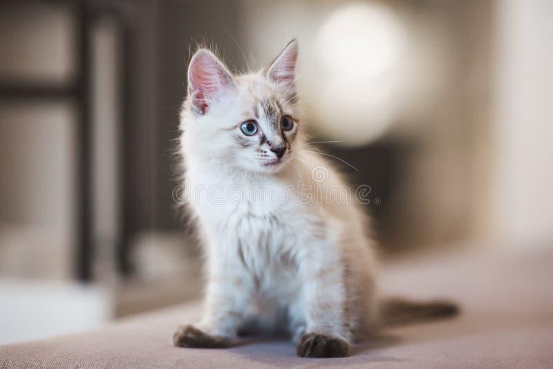 Chaton de Neva Masquerade de Sibérien avec de beaux yeux bleus se reposant à l'intérieur Portrait de plan rapproché de chaton mig images libres de droits