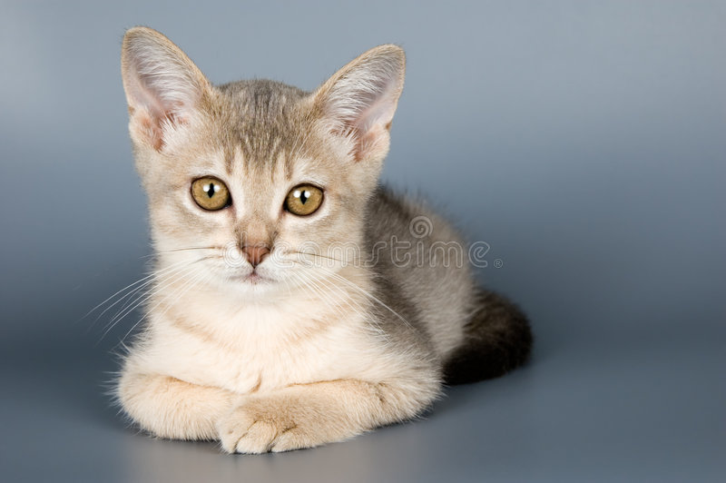 Chaton de race abyssinienne images stock