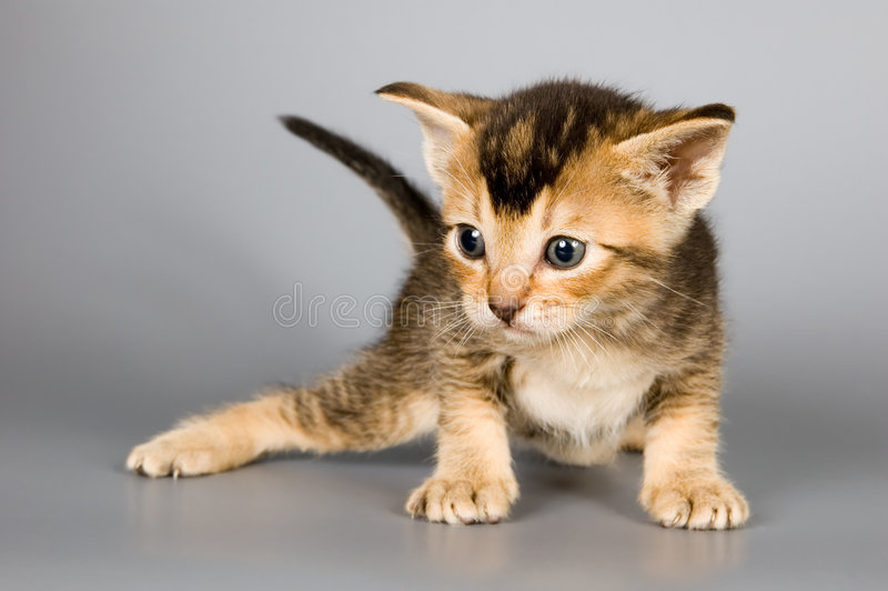 Chaton de race abyssinienne image stock
