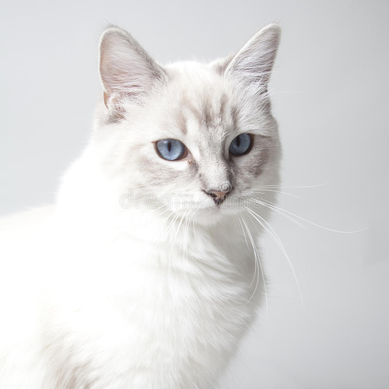 Chaton de Ragdoll images stock