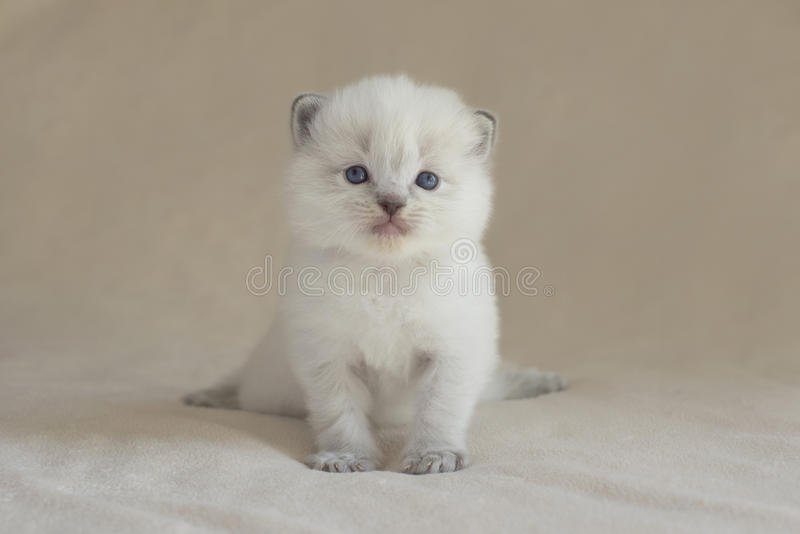 Chaton de Ragdoll photos stock
