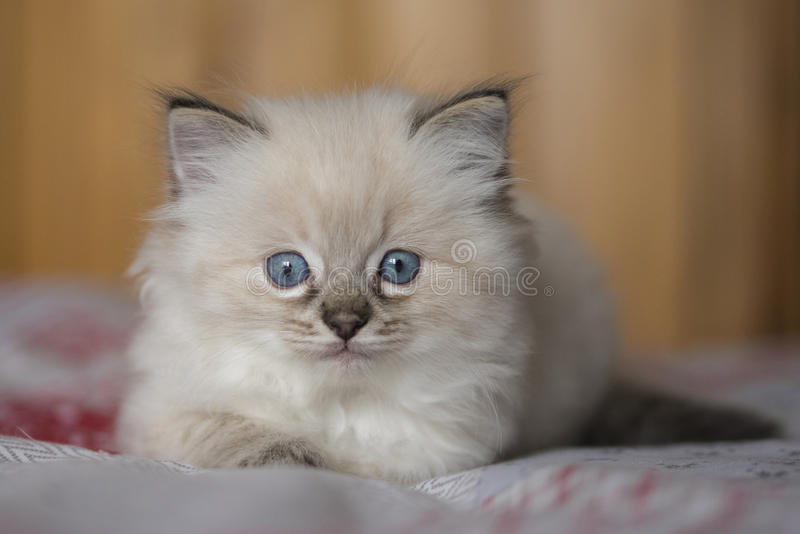 Chaton de Ragdoll photo stock